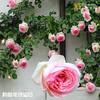 藤本月季花苗植物盆栽绿植花卉 3.8元(需用券)